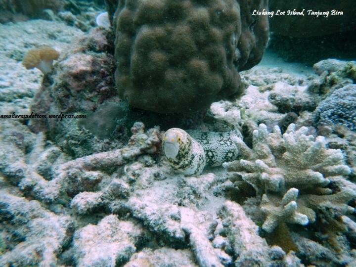 Do you see itt? Yes, Moray eel ! - Pulau Liukang Loe