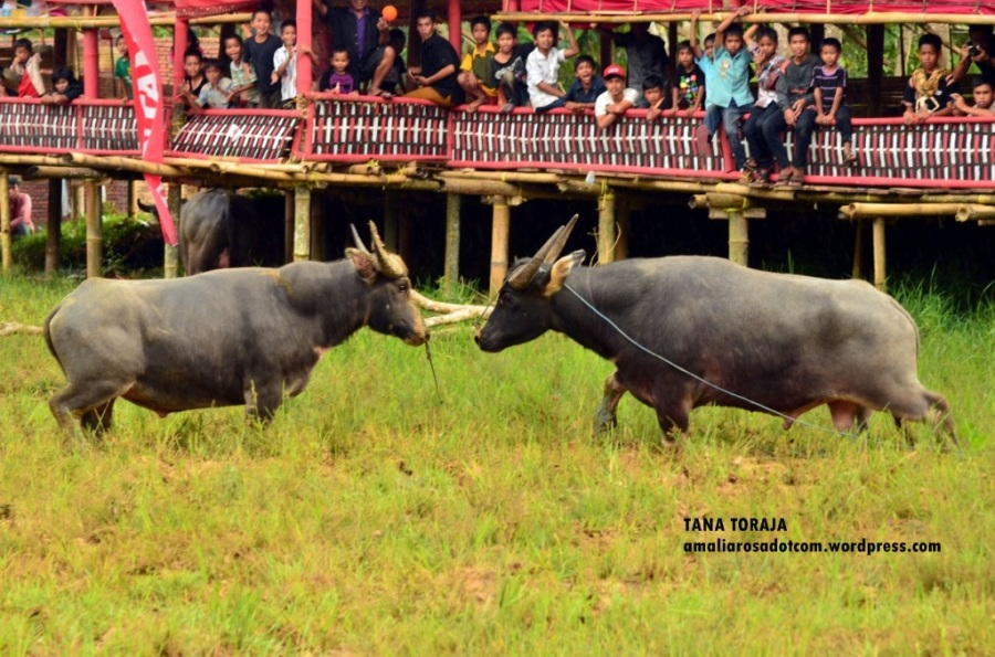 Adu kerbau/ Mapasilaga tedong - Tana Toraja. Photo by Wirya Saputra