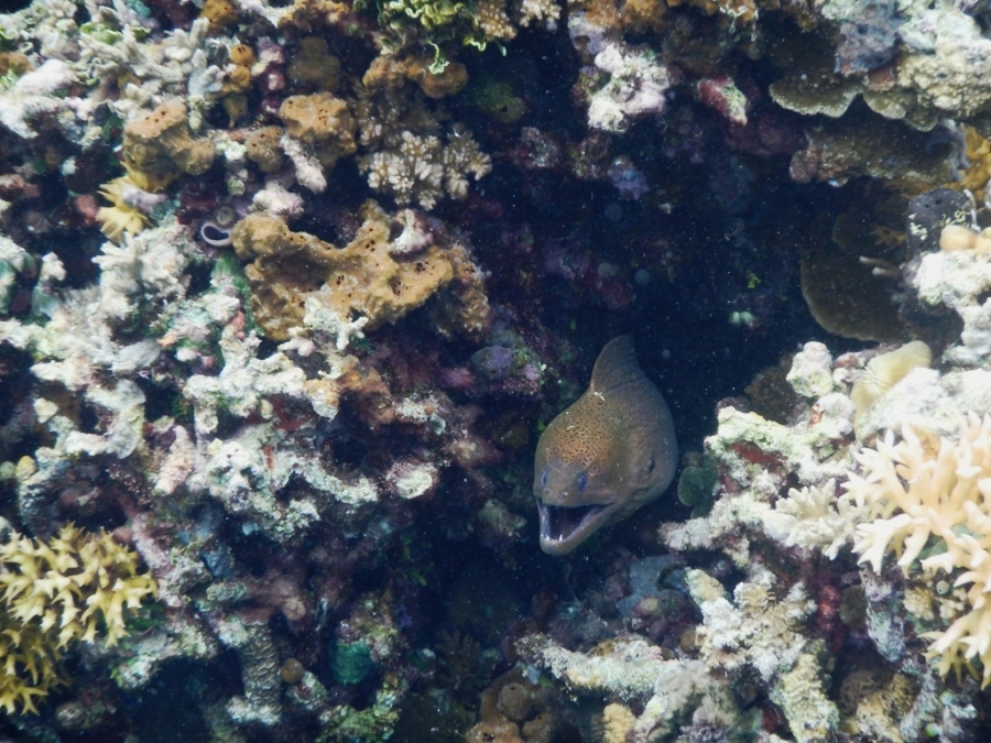 Moray eel hidup di dalam karang, di Pulau Una- Una, Kep. Togean